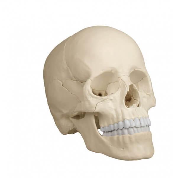 Anatomisches Schädelmodell