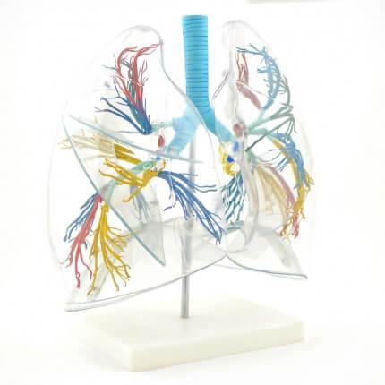 Transparentes Lungenmodell mit Bronchialbaum