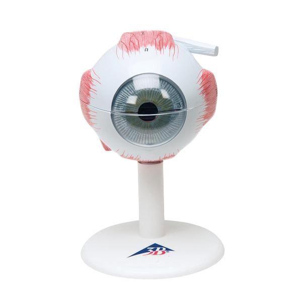 Modell Auge