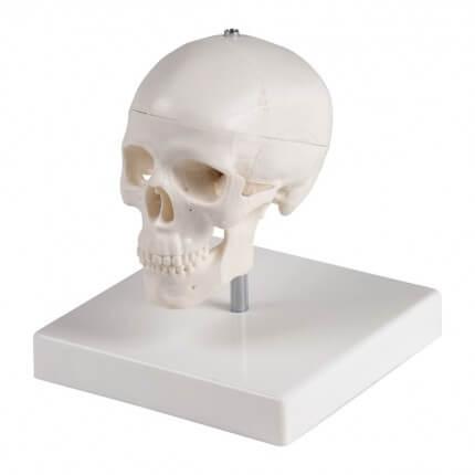 Crâne miniature avec trépied