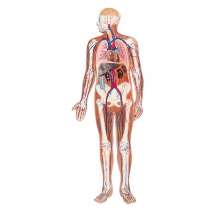 Modèle en relief de la circulation sanguine