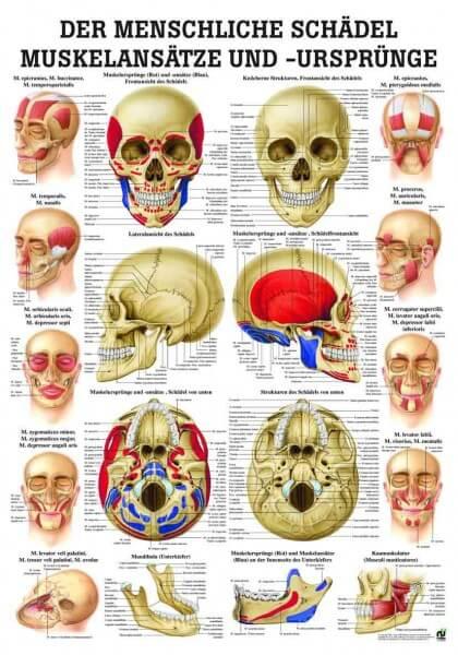 Lehrtafel – Der menschliche Schädel