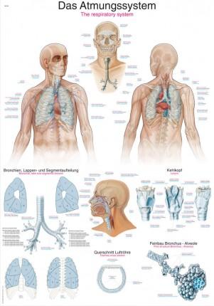 Lehrtafel – Das Atmungssystem