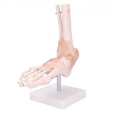 Modèle anatomique du pied