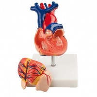 HeineScientific Anatomical Human Heart Model