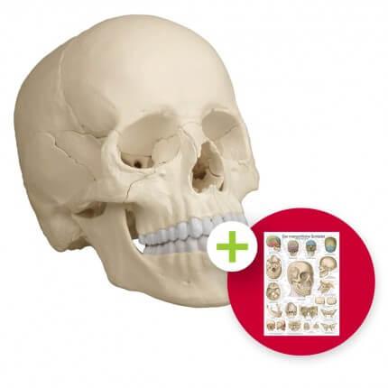 Osteopathie-Schädelmodell