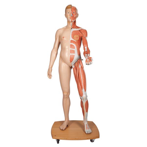 Modell Lebensgroße zweigeschlechtige Muskelfigur