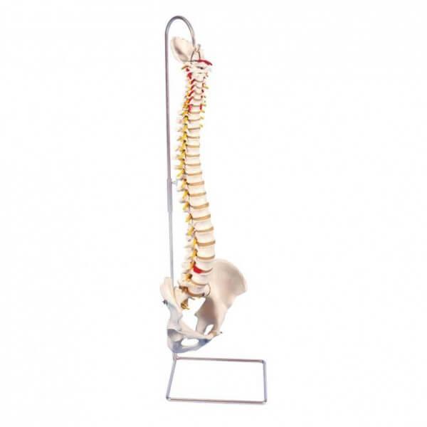 Modell Flexible Wirbelsäule