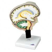 3B Scientific Modell Gehirnschnitt