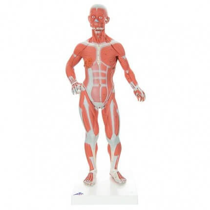 Modèle musculaire