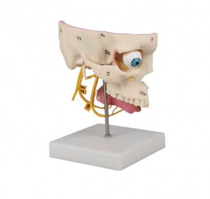 Sinnesorgane Modell