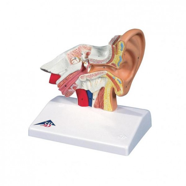 Desk Model of the Ear