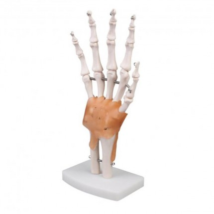 Modell Anatomisches Hand-Skelett