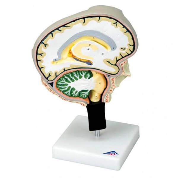 Modell Gehirnschnitt