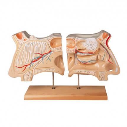 Modèle de nez et d'organe olfactif