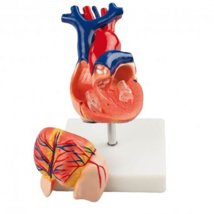 Anatomical Human Heart Model