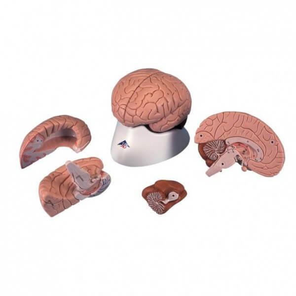 Modell Klassisches Gehirn 4-teilig