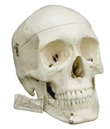 Homo-Schädel Modell