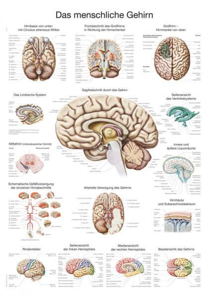 Lehrtafel – Das menschliche Gehirn
