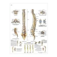 3B Scientific Lehrtafel - Die menschliche Wirbelsäule