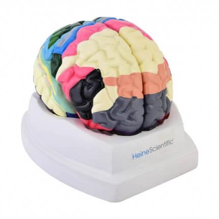 Gehirnmodell der Brodmann-Areale