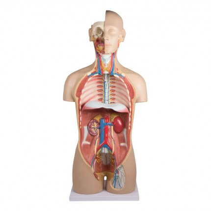 Modèle de torse avec dos ouvert