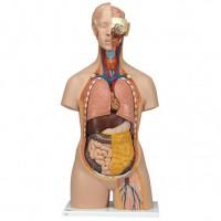 3B Scientific Modell Klassik-Torso mit geöffnetem Rücken
