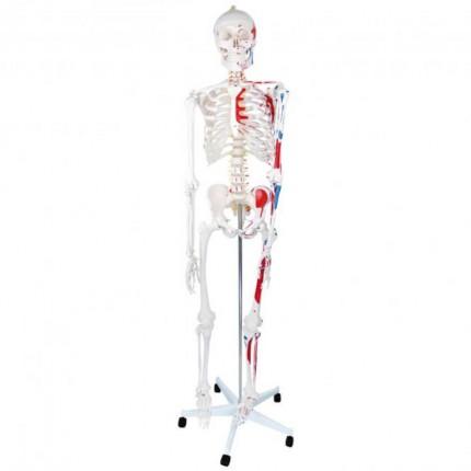 Menschliches Skelett-Modell